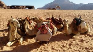 bedouins take tourists for camel rides