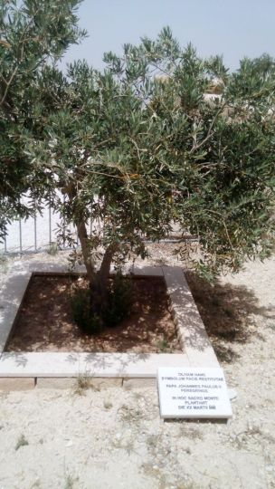 Olive Tree planted by Pope John Paul II