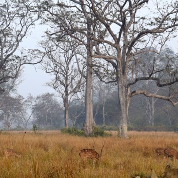 Spotted deers, Safari from Bijrani gate, Corbett Tiger Reserve, Ramnagar, Uttarakhand, India