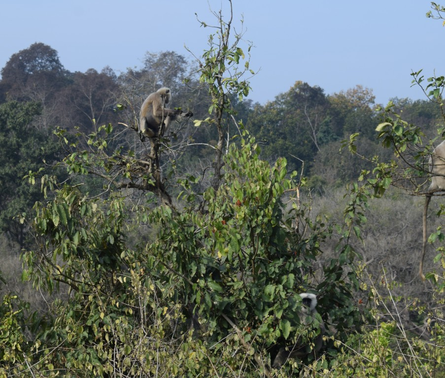 Langurs eating fruits, Corbett Tiger Reserve, Ramnagar, Uttarakhand, India.jpg