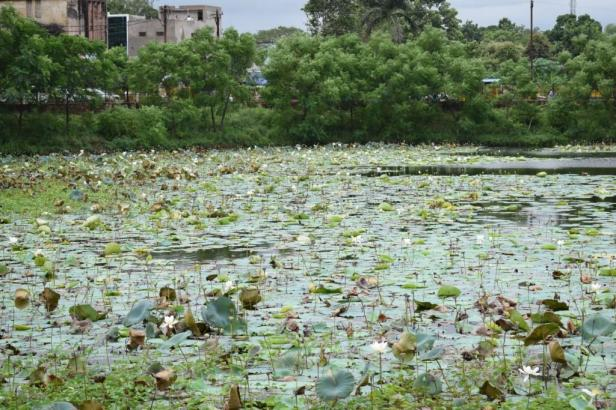 White lotus in Jaisingh Talab, Ispat Steel Park, Raigarh, Chhattisgarh, India