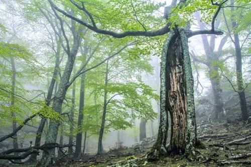 Ancient and Primeval Beech Forests of the Carpathians and Other Regions of Europe (extension 2021). Massane split beech.© RNN Forêt de la Massane